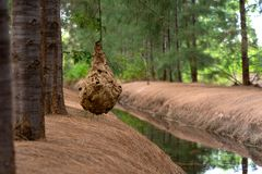 Wasp nest on tree. Wasp nest hangs in a tree with leaves stock photos