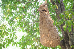 Wasp nest on tree Royalty Free Stock Images