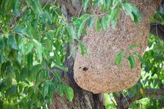 Wasp nest on tree Stock Photo