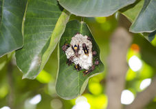 Wasp in the nest on the tree leaf. Stock Image