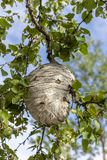 Wasp nest in tree stock images