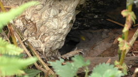 Wasp nest underground entrance close up. Underground wasp Vespula germanica nest close up in the hole under big trunk of fallen tree in the forest stock video footage
