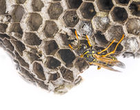 A wasp nest Stock Images