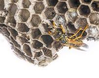 A wasp nest. (Vespula vulgaris stock images