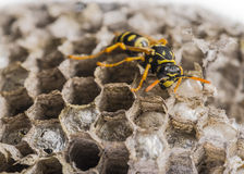 A wasp nest Royalty Free Stock Images