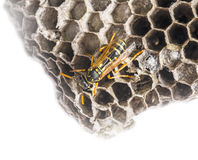 A wasp nest (Vespula vulgaris) Stock Photography