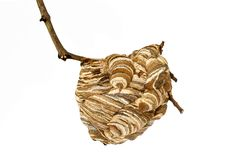 Wasp nest. With branch isolated on white background royalty free stock photography