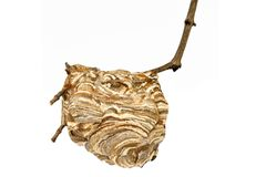 Wasp nest. With branch isolated on white background royalty free stock images