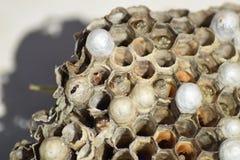 Wasp nest without wasps. Captured ravaged nest wasps. Honeycombs with larvae Royalty Free Stock Photo