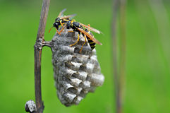 Wasp on the nest Stock Image