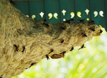Wasp nest. With wasps at house stock images