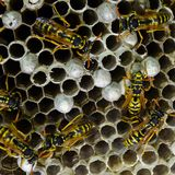 Wasp nest with wasps sitting on it royalty free stock photography