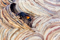 Wasp nest with wasps sitting on it. Wasps polist. The nest of a family of wasps which is taken a close-up royalty free stock photo