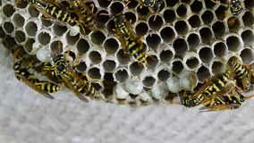 Wasp nest with wasps sitting on it. stock video