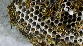 Wasp nest with wasps sitting on it. stock footage