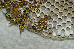 Wasp nest with wasps sitting on it. Wasps polist. The nest of a family of wasps which is taken a close-up Stock Image