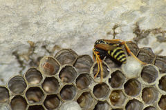 Wasp nest with wasps sitting on it. Wasps polist. The nest of a family of wasps which is taken a close-up Royalty Free Stock Photography