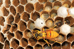 Wasp on nest in the wild Stock Photography