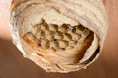 Wasp nest on wooden ceiling 1. Abandoned wasp nest on a wooden ceiling Royalty Free Stock Photography