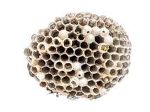 Wasp nidus Arkivbilder