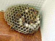 Wasp nidus Stock Photo