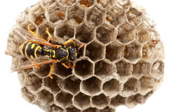 Wasp On Nest Royalty Free Stock Images
