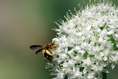 Wasp And Onion Flower Royalty Free Stock Images