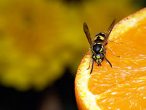 Wasp on orange. A wasp lured in by the scent of a fresh orange stock image