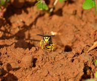Wasp out of the nest with mass of clay in its jaws Stock Photos