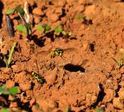 Wasp overflying the entrance of the nest Royalty Free Stock Photos