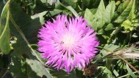 Wasp på att blomstra amberboaen stock video