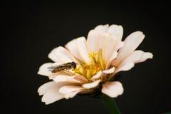 Wasp på blom Royaltyfri Foto