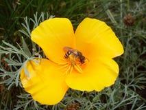 Wasp på blomma Royaltyfri Bild
