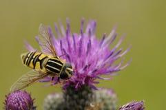 Wasp på blomma Arkivbild