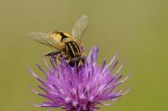 Wasp på blomma Arkivfoto