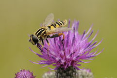 Wasp på blomma arkivbilder