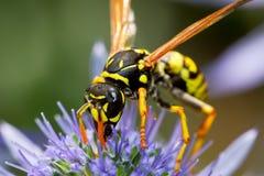 Wasp på blomman Arkivfoto