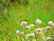 Wasp på blommor Fotografering för Bildbyråer