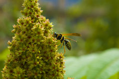 Wasp på blommor Royaltyfria Foton