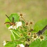 Wasp på Bradford Tree Blooms arkivbilder