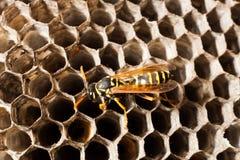 Wasp på cellerna Fotografering för Bildbyråer