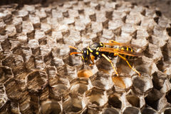 Wasp på cellerna Arkivfoton