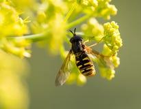 Wasp på den gula blomman i natur royaltyfria foton