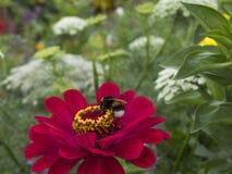 Wasp på den röda blommadahlian, blommaträdgård fotografering för bildbyråer