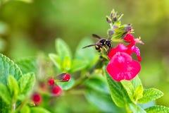 Wasp på den röda blomman arkivfoton