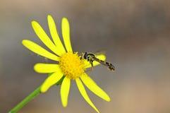 Wasp på en gul blomma Arkivfoton