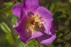 Wasp på en härlig blomma Arkivfoton