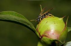 Wasp på en knopp royaltyfria foton