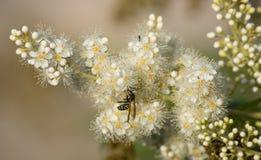 Wasp på en vit inflorescence Fotografering för Bildbyråer