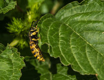 Wasp på ett blad Arkivbilder